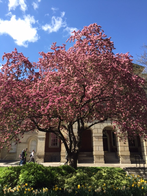 osgoode hall blossoms 4