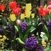 tulips toronto 3