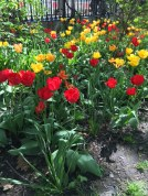 tulips toronto 5