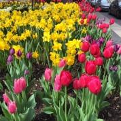 tulips toronto